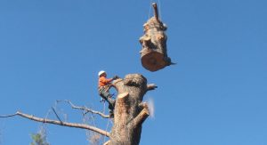tree removal in davison